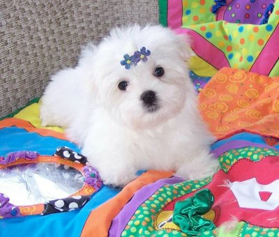 Puppies  Adoption on Adorable Teacup Maltese  Puppies For Adoption Texas 27868990
