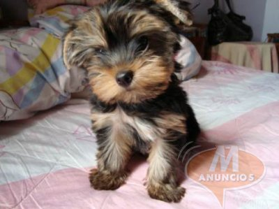 Cachorro de yorkshire terrier mini toy.. Valencia 28200564