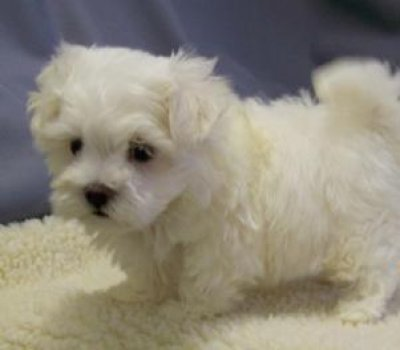 Maltipoo Puppies on White Teacup Maltipoo Puppies For Rehoming Leicester 29312908