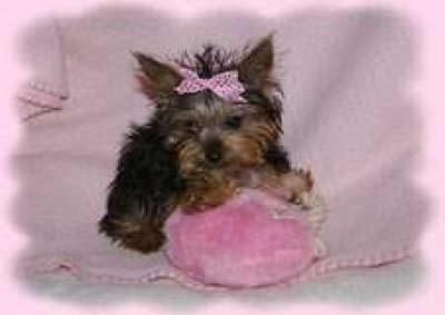 nice yorkie puppies for adoption_Hampton-roads