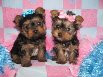Baby Puppies on Cute Looking Male And Female Baby Teacup Yorkie Puppies For Adoption