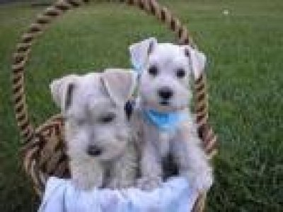 Miniature Schnauzer Puppies on Male And Female Miniature Schnauzer Salt And Pepper Puppies Available