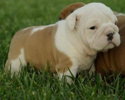 Homes  Sale on Bulldog Puppies For Good Homes Sale Available Now Bexley 31285328