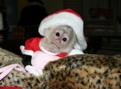 free to good home pet capuchin monkey_Huntsville